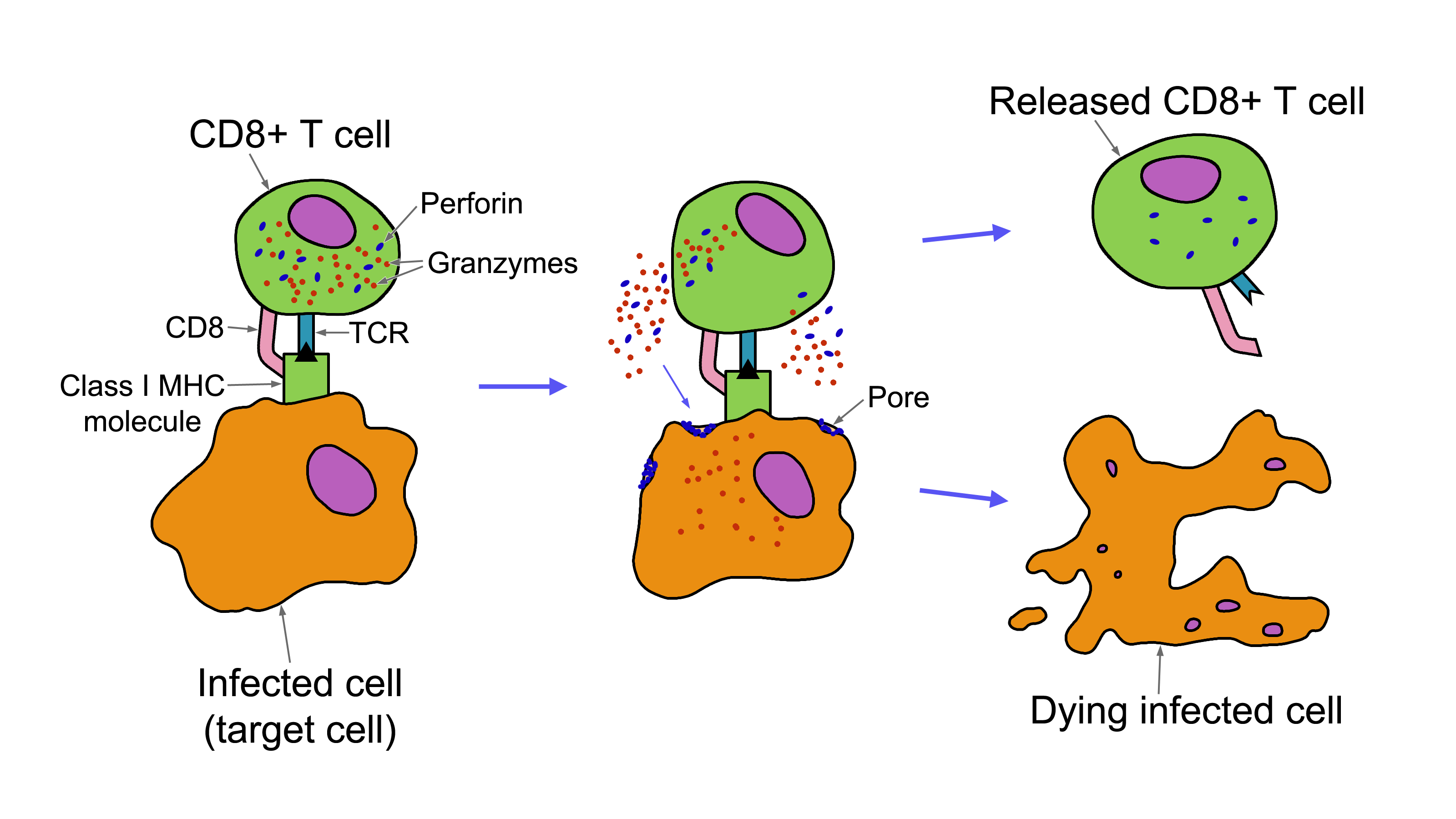 T Cell-Mediated Cytotoxicity - photo#4