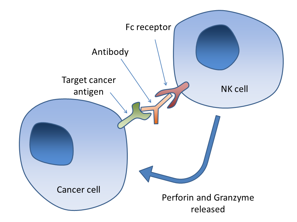 receptor activator of nk b for tumor cells 2016-06-10 increased expression of androgen receptor (ar) by tumor cells  and/or may interact directly with effector cd4 + and cd8 + t cell and/or nk cells to suppress anti-tumor immunity b cells  journal for immunotherapy of cancer.