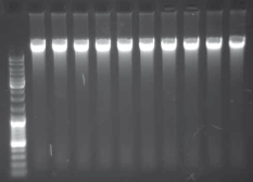 Mouse Tail Genomic DNA Isolation