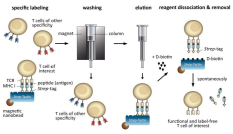 Magnetic T-cell isolation with MHC-I Streptamers