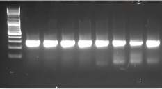 PCR results with the blackPREP Food DNA extraction kit