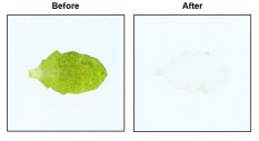 Plant tissue before and after clearing with the X-CLARITY™
