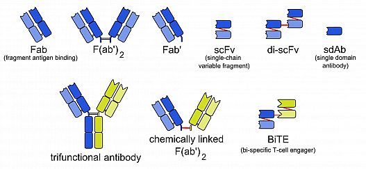 A range of bispecific antibodies formats. By Anypodetos (Own work) [Public domain], via Wikimedia Commons.