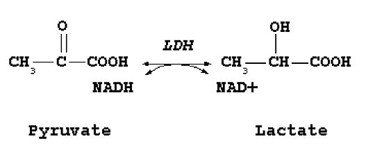 Lactate production by LDH