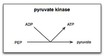 Reaction catalyzed by pyruvate kinase