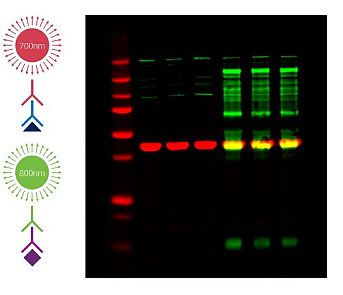 Multiplex to detect two different protein targets in each sample lane.